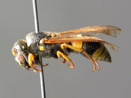 Ancistrocerus claripennis